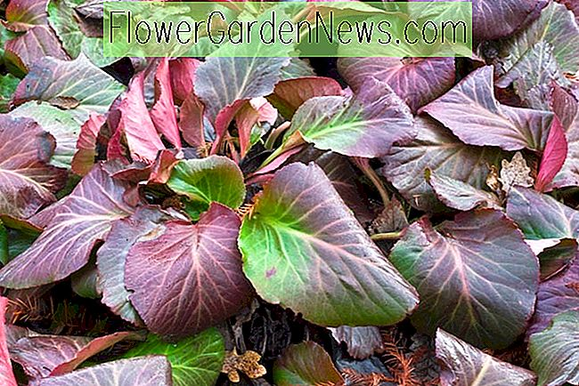 Bergenia 'Bressingham Ruby', Heartleaf Bergenia 'Bressingham Ruby', Elefantenohren 'Bressingham Ruby', Winter Bergonia 'Bressingham Ruby', Pigsqueak 'Bressingham Ruby', Rosa Bergenia, Red Bergenia, Immergrüne Staude