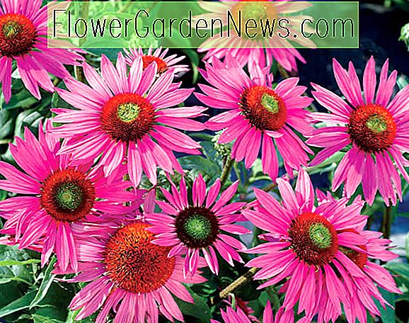 Echinacea purpurea 'Green Eyes' (Coneflower)