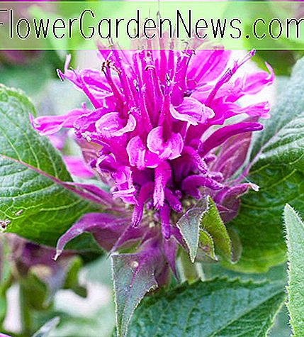 Monarda 'Purple Lace' (Bee Balm)