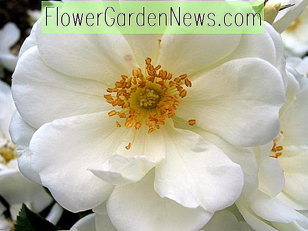 Rosa 'Flower Carpet White'