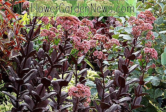 Sedum 'Chocolate Drop' (Stonecrop)