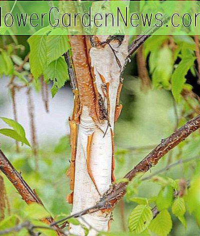 Betula 'Fascination' (Birch)