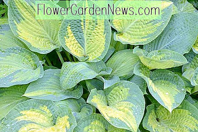 Hosta 'Paul's Glory' (Plantain Lily)