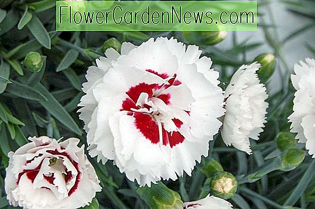 Dianthus 'Coconut Surprise' (Rose)