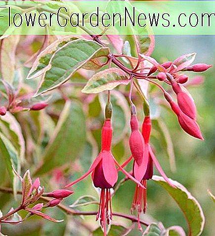 Fuchsia 'Tom West'