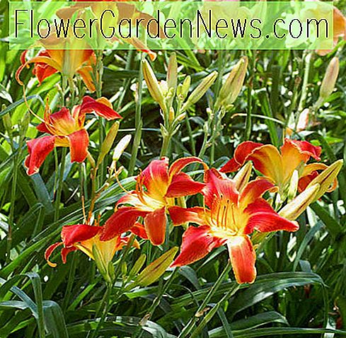 Hemerocallis 'All American Chief', Taglilie 'All American Chief', Taglilie 'All American Chief', 'All American Chief' Taglilie, Vormittage Daylily, rote Taglilien, rote Taglilie, Taglilien, rote Blüten, rote Hemerocallis