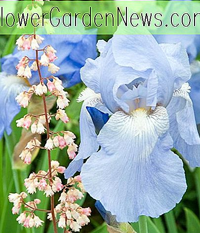 Iris 'Sugar Blues' (Reblooming Bearded Iris)