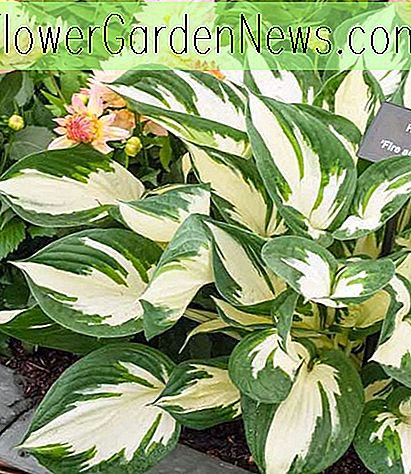 Hosta 'Fire and Ice' (Lys Plantain)