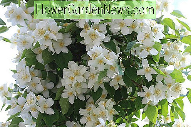 Philadelphus 'Avalanche' (Mock Orange)