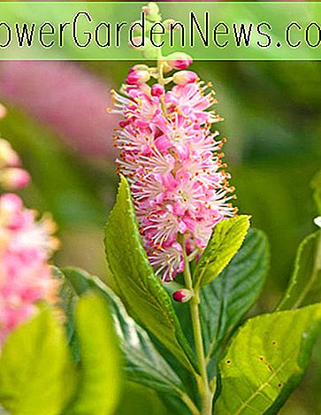 Clethra alnifolia 'Ruby Spice' (Summersweet)