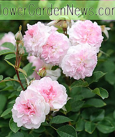 Rosa 'Roosemoor' (Austrough)