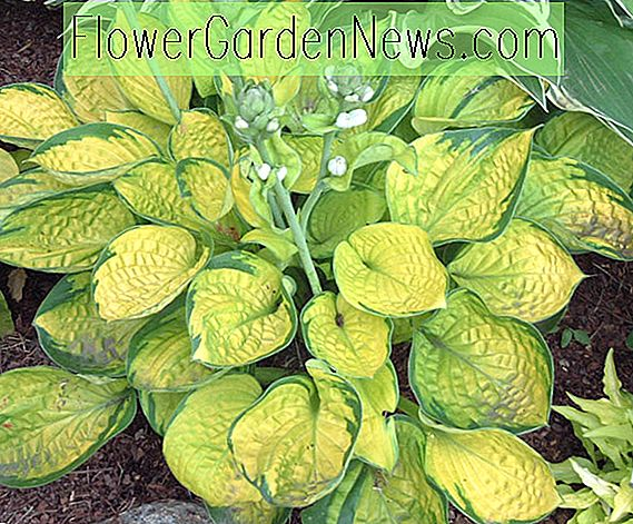 Hosta 'Rainforest Sunrise' (Wegerich-Lilie)
