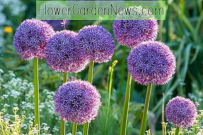 Allium 'Globemaster' (Ornamental Løg)