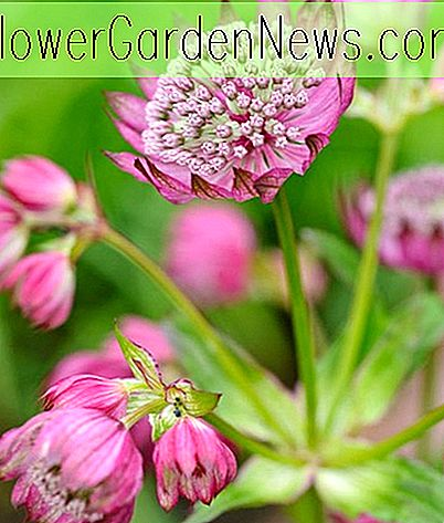Astrantia major 'Rubinwolke' (Great Masterwort)
