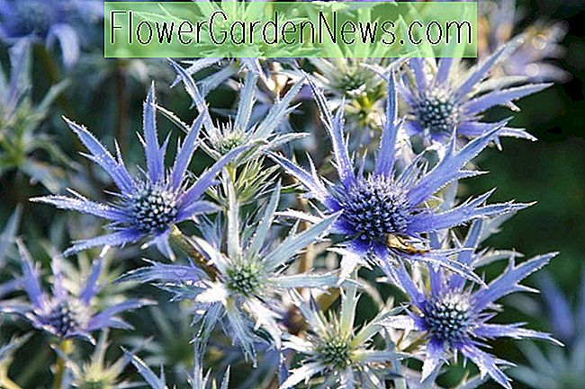 Eryngium bourgatii 'Picos Blue' (Mar Mediterráneo Holly)