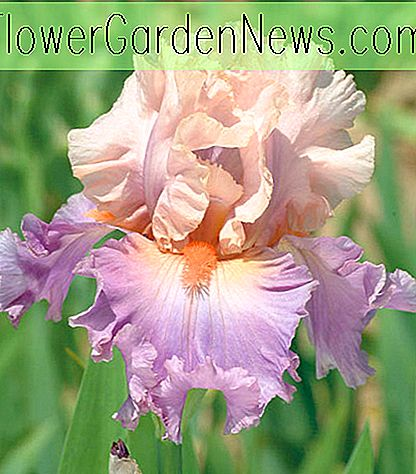 Iris 'Discovered Treasure' (Iris à barbe)