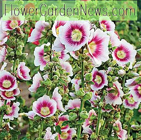 Alcea rosea 'Halo Blush' (Hollyhock)