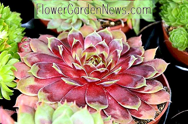 Sempervivum 'Commander Hay' (Hens and Chicks)