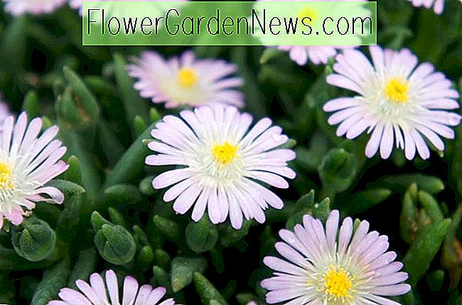 Delosperma 'Jewel of the Desert Rosequartz' (Planta de hielo)