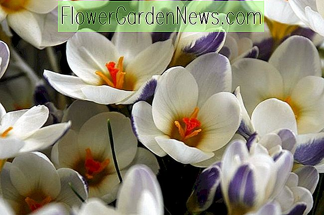 Crocus chrysanthus (Snow Crocus)