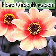 Dahlia 'Happy Single First Love''Happy Single Erste Liebe' Dahlia, Single-Blüte Dahlien, Orange Dahlia Blumen, Dark-Leaved Dahlien, Dahlia Knollen, Dahlia Zwiebeln, Dahlien, Dahlien, Sommerzwiebeln
