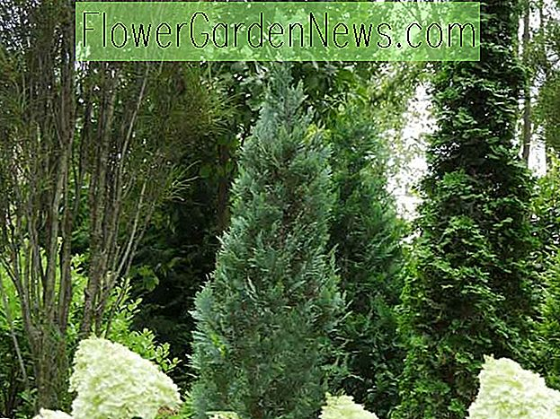Chamaecyparis lawsoniana 'Pinpoint Blue' (Lawson Cypress)