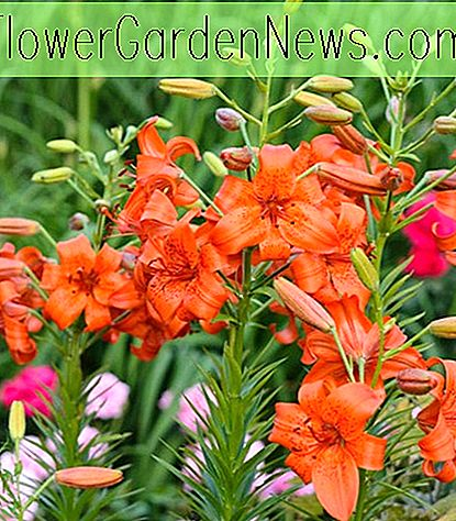 Lilium 'Fire King' (Asiatisk Lily)