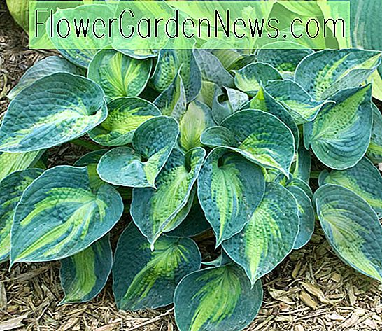 Hosta 'Rhino Hide' (Plantain Lily)