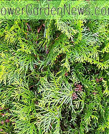 Thuja occidentalis 'Degroot's Spire' (American Arborvitae)