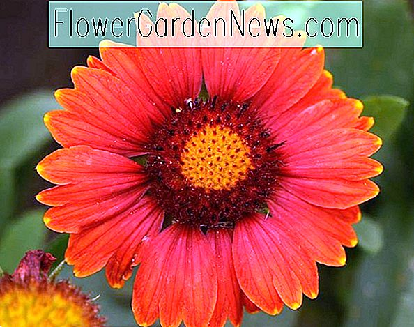 Gaillardia x grandiflora 'Arizona Red Shades' (Blanket Flower)