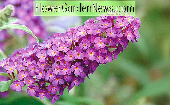 Buddleja davidii 'Buzz Magenta' (Butterfly Bush)