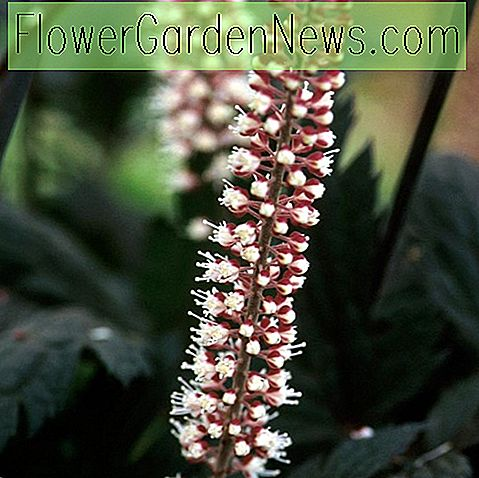 Actaea Simplex (Atropurpurea Group) 'Hillside Black Beauty', Baneberry 'Hillside Black Beauty', Bugbane 'Hillside Black Beauty', Cimicifuga Ramosa 'Hillside Black Beauty', Cimicifuga simplex 'Hillside Black Beauty', Cohosh 'Hillside Black Beauty', Hillside Black Beauty Snakeroot