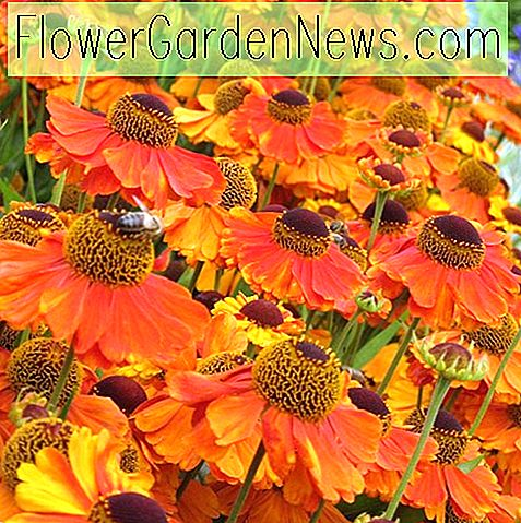 Helenium 'Sahin's Early Flowerer' (Sonnenbraut)