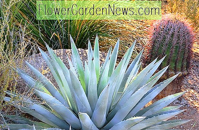 Agave chrysantha (Golden Flowered Century Plant)