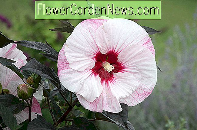 Hibiscus 'Perfect Storm' (Rose Mallow)