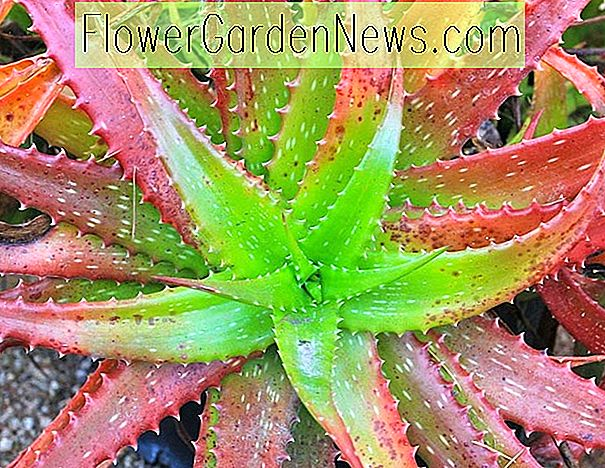 Aloe cameronii (Red Aloe)