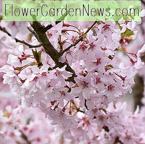 Prunus pendula f.  กุหลาบ 'Rosea' (Weeping Cherry)