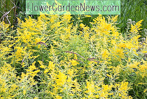 Solidago 'Goldenmosa' (Goldrute)
