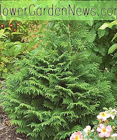 Chamaecyparis pisifera 'Soft Serve' (Sawara Zypresse)