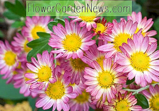 Chrysanthemum 'Will's Wonderful', Garten-Mamma 'Will's Wonderful', Blumenhändler-Mum 'Will's Wonderful', Hardy Garten Mum Will's Wonder, Dendranthema Will Wonderful, rosa Chrysanthemum, Herbst Blumen