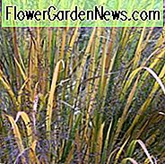 Panicum Virgatum 'Northwind', Panicum 'Northwind', Switch Grass 'Northwind'