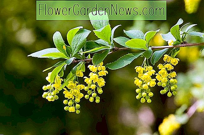 Berberis koreana (Korean Barberry)