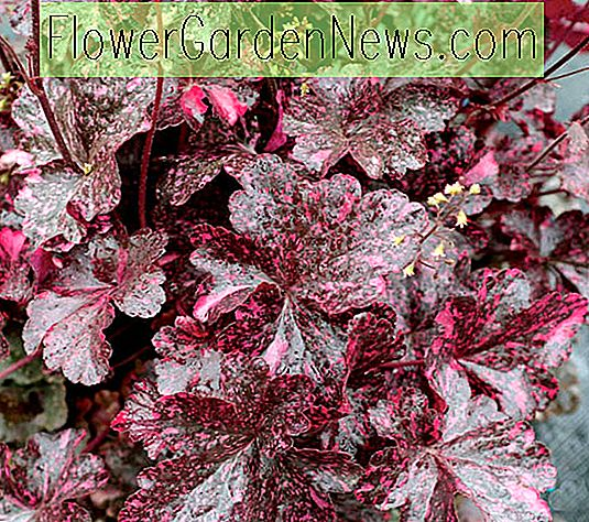 Heuchera 'Midnight Rose' (Corail Cloches)