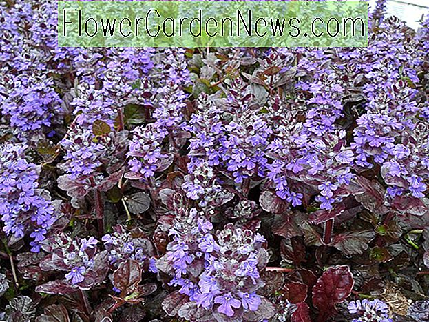 Ajuga reptans 'Black Scallop' (Carpet Bugle)
