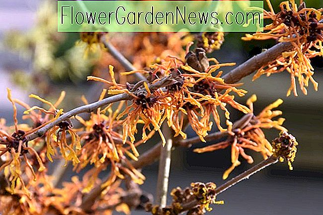 Hamamelis x intermedia 'Aphrodite' (Witch Hazel)