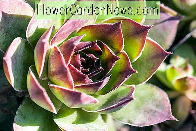 Sempervivum 'Carmen' (Hens and Chicks)