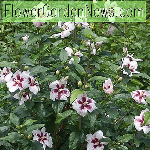 Hibiscus syriacus 'Lil' Kim '(Rose of Sharon)