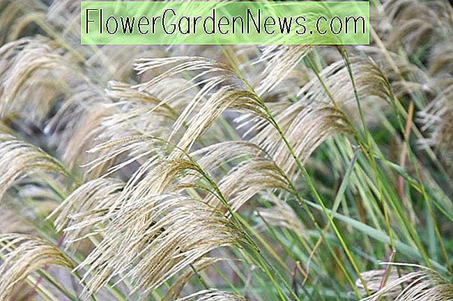 Miscanthus nepalensis (Himalaya Fairy Grass)