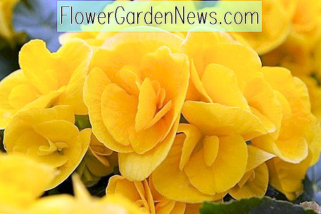 Begonia 'Nonstop Yellow'