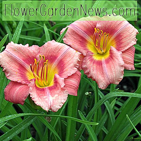 Hemerocallis 'Rosy Returns', Taglilie 'Rosy Returns', Taglilie 'Rosy Returns', 'Rosy Returns' Taglilie, Taglilien, Reblooming Taglilie, Reblooming Taglilien, Taglilie, Taglilien, rosa Blüten, rosa Taglilie, Pinkdaylily, Hemerocallidaceae, Staude, Pflanze
